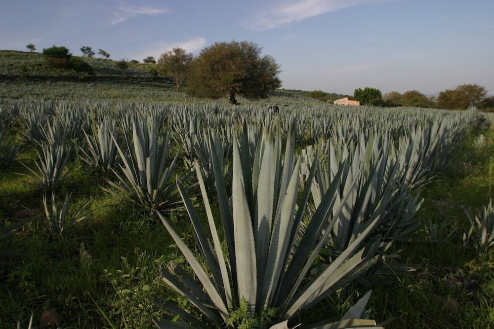 agave patron tequila