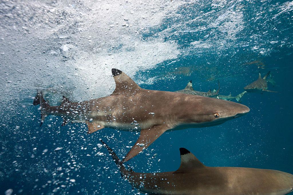 Blacktip Shark wilding out