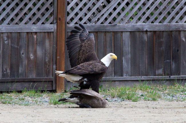 Eagle vs. goose