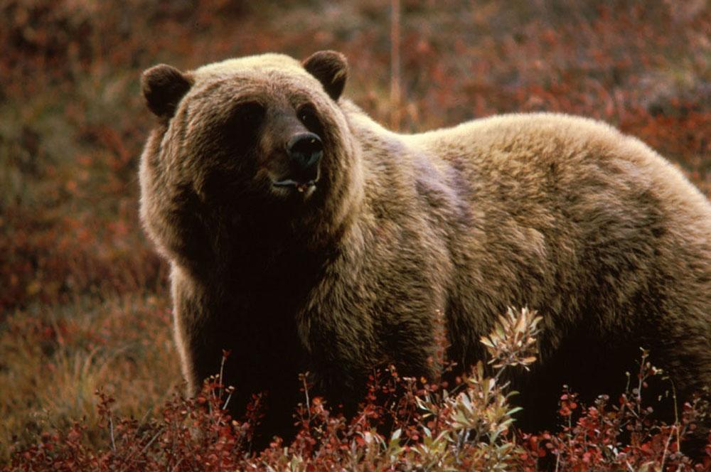 Grizzly Bear, Wikimedia