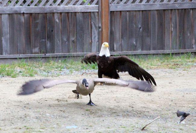 Eagle v Goose 2 (Photo: Vancouver Island Images)