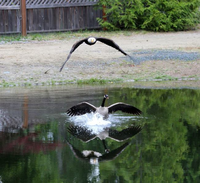 Eagle v Goose 3 (Photo: Vancouver Island Images)